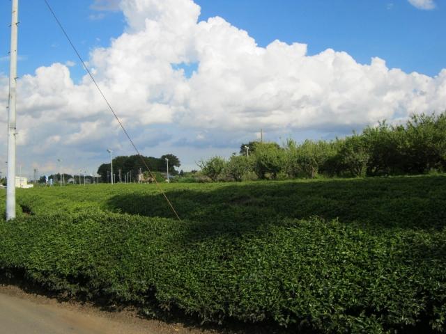狭山茶の茶畑(イメージ)